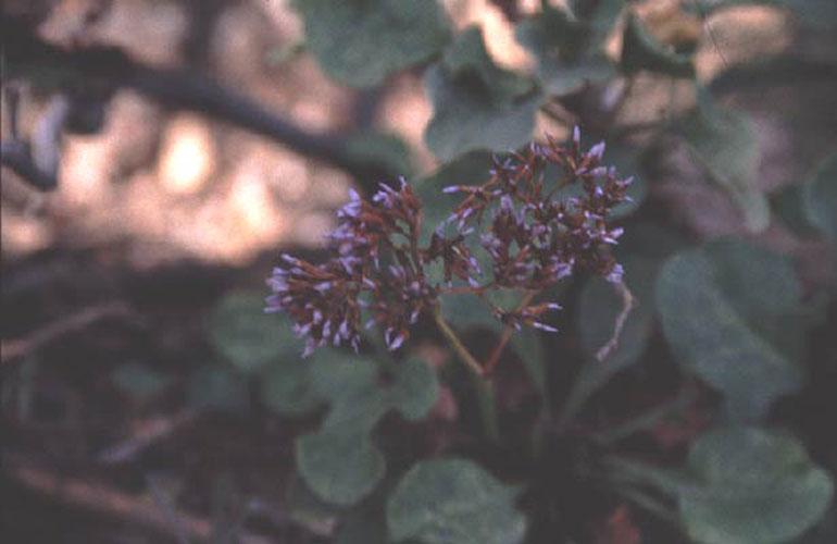 ecard 1028-limonium-arborescens