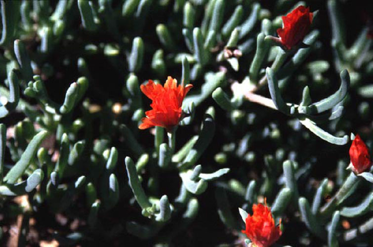 ecard 1048-rode-cactusbloem