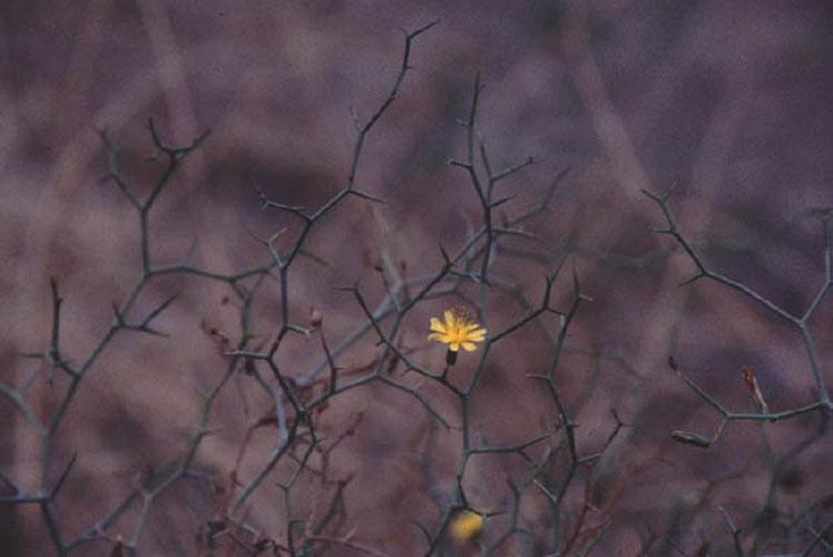 ecard 1060-launea-arborescens