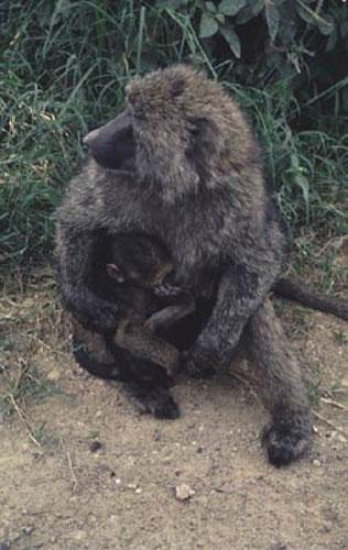 ecard 1504-baviaanmoeder-met-jong