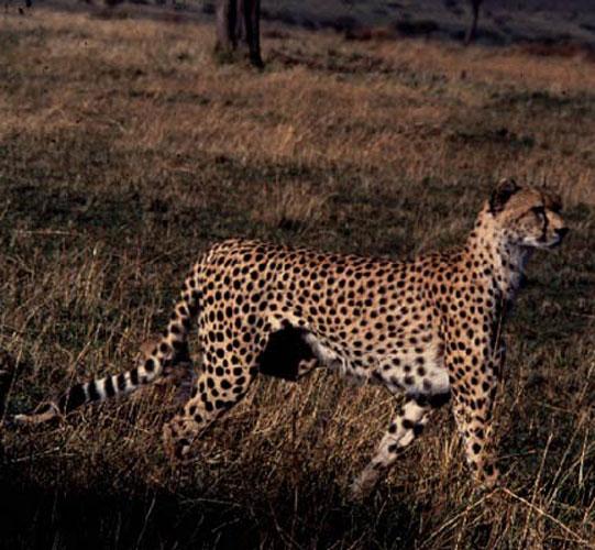 ecard 1510-cheetah