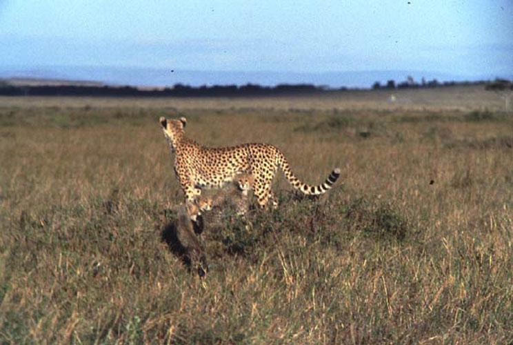 ecard 1511-cheetah-met-jongen