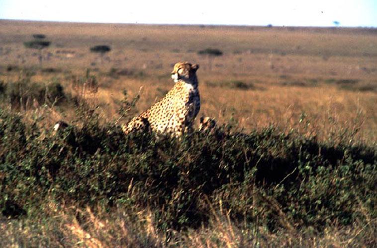 ecard 1512-cheetah-met-jongen