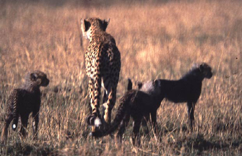 ecard 1513-cheetah-met-jongen-2