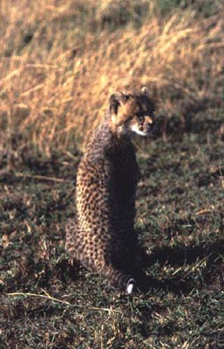 ecard 1514-jonge-cheetah