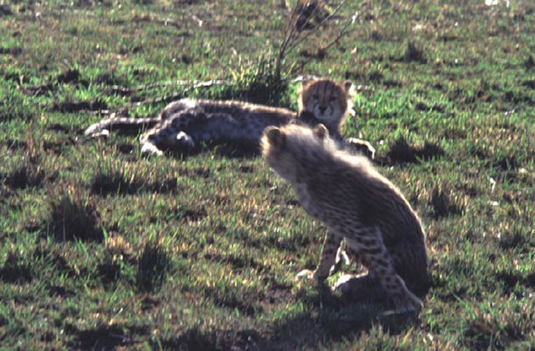ecard 1515-jonge-cheetahs