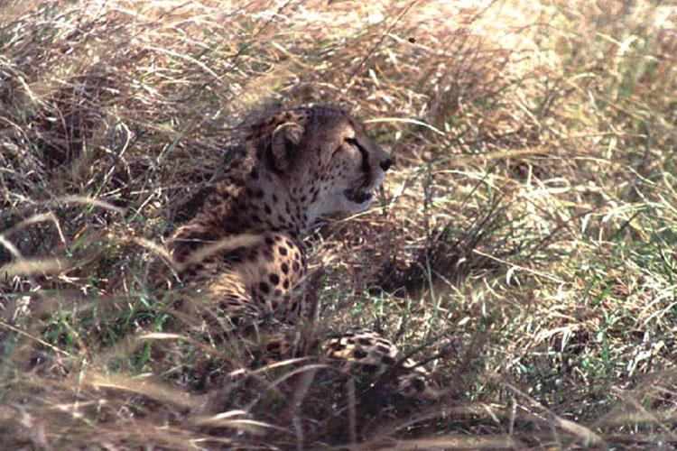 ecard 1516-cheetah-in-gras