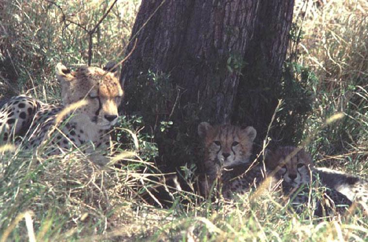 ecard 1518-cheetah-met-jongen-bij