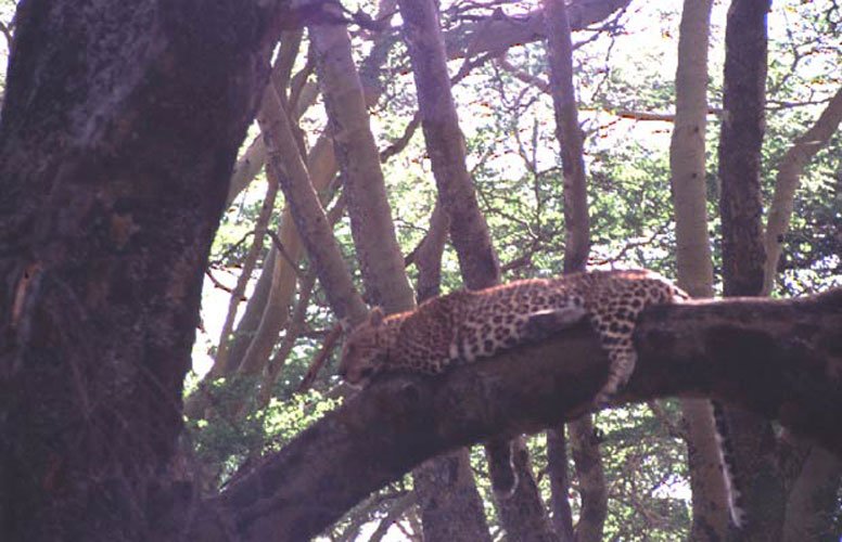 ecard 1520-luipaard-op-boomtak