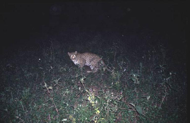 ecard 1521-luipaard-'s-nachts