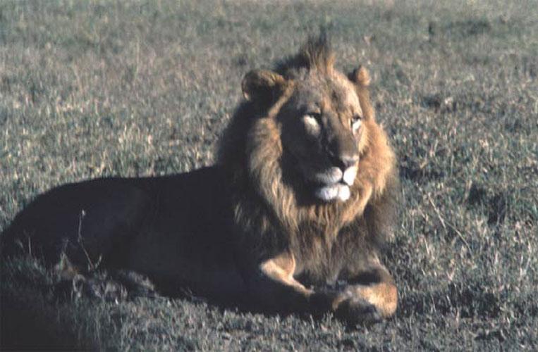 ecard 1522-liggende-leeuw
