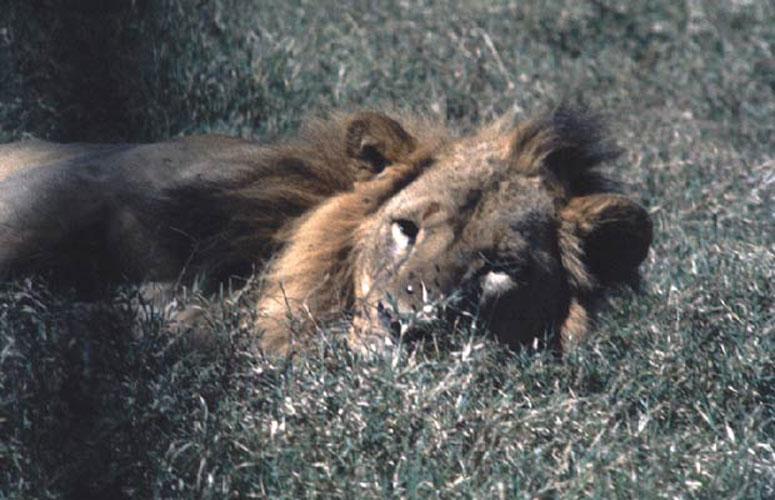 ecard 1523-liggende-leeuw-2