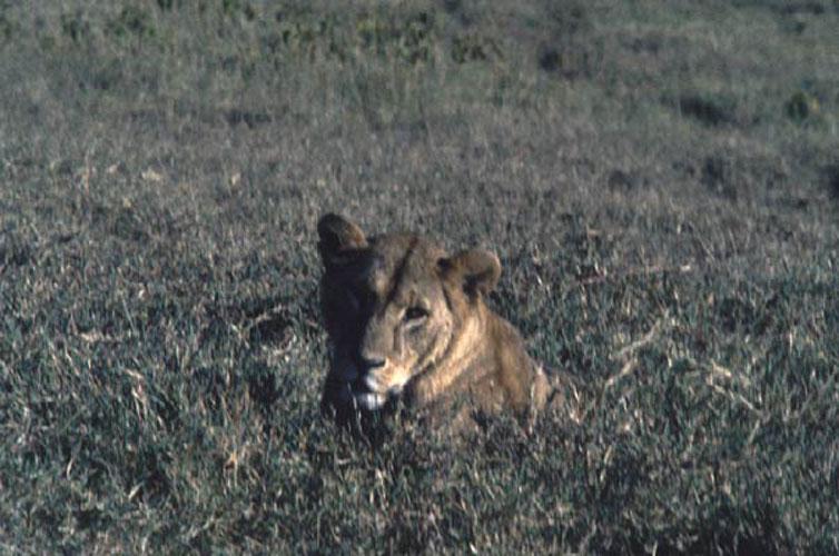 ecard 1524-liggende-leeuwin