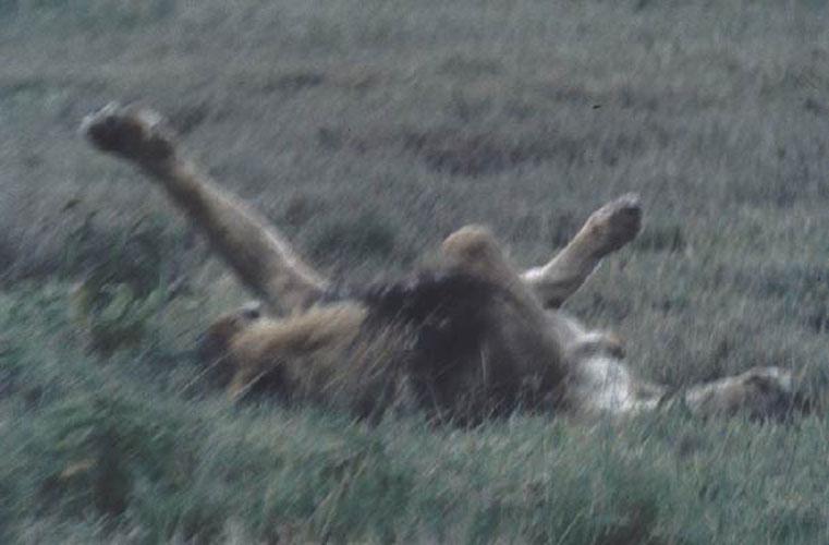 ecard 1527-rollende-leeuwin
