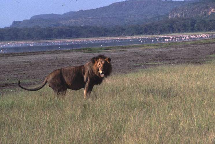 ecard 1528-staande-leeuw