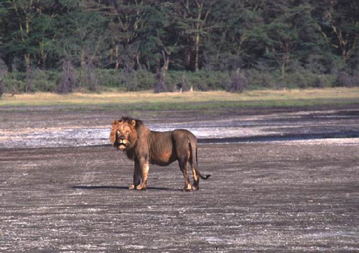ecard 1529-staande-leeuw-2