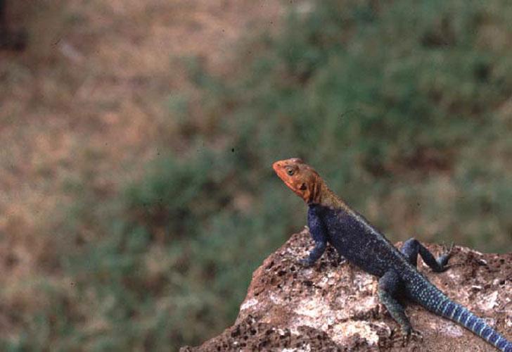 ecard 1532-rainbow-lizard