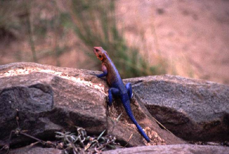ecard 1533-rainbow-lizard-2