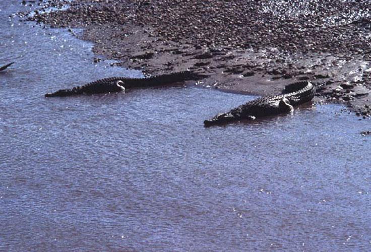 ecard 1537-krokodillen