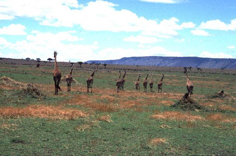 ecard 1543-kudde-giraffes