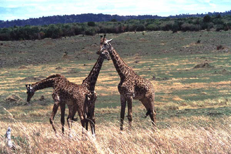 ecard 1544-stoeiende-giraffes-1