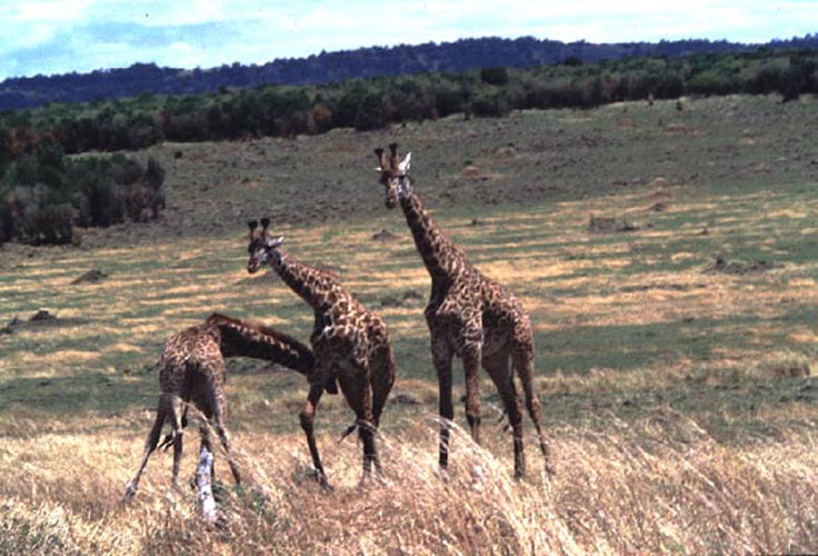 ecard 1545-stoeiende-giraffes-2