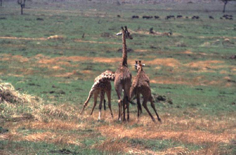 ecard 1546-stoeiende-giraffes-3