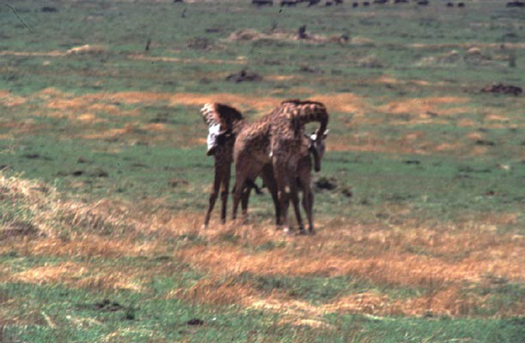 ecard 1547-stoeiende-giraffes-4