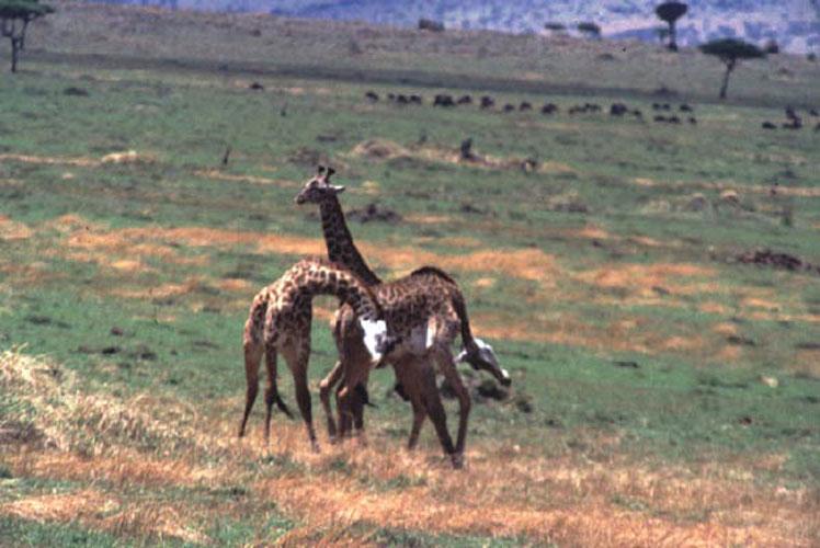 ecard 1548-stoeiende-giraffes-5