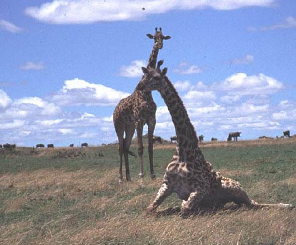 ecard 1549-stoeiende-giraffes-6