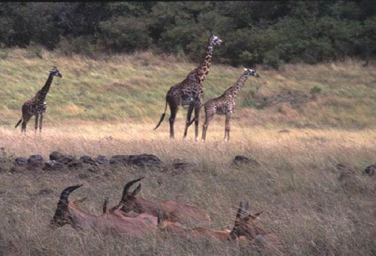 ecard 1550-giraffes-en-gazelles
