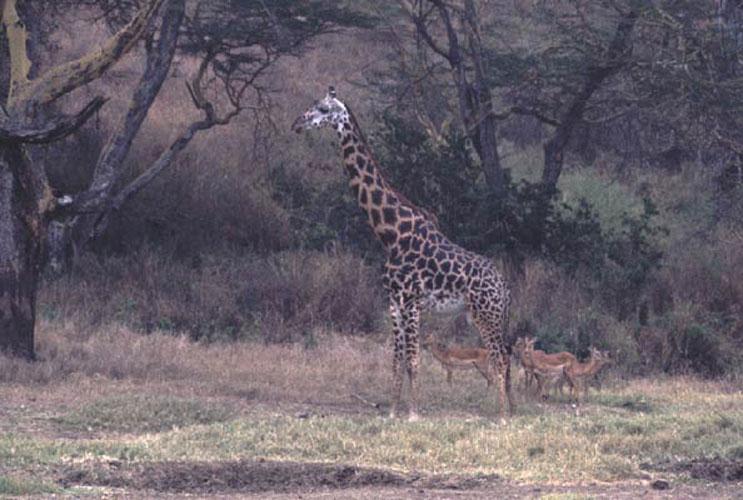 ecard 1551-giraffes-en-gazelles-2