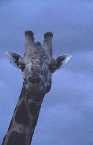 ecard 1553-portret-giraffe