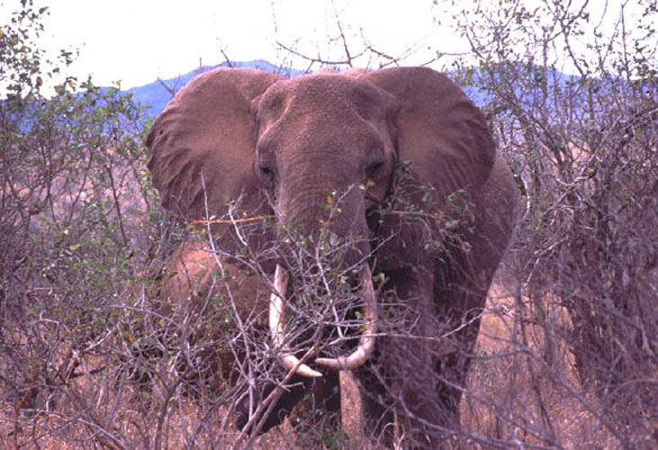 ecard 1555-olifant-in-struik