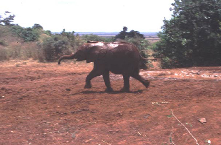 ecard 1556-hollende-jonge-olifant