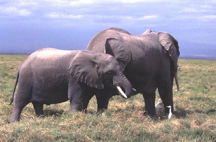 ecard 1558-olifant-met-jong-1