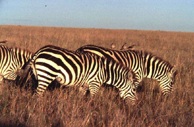 ecard 1562-grazende-zebra's