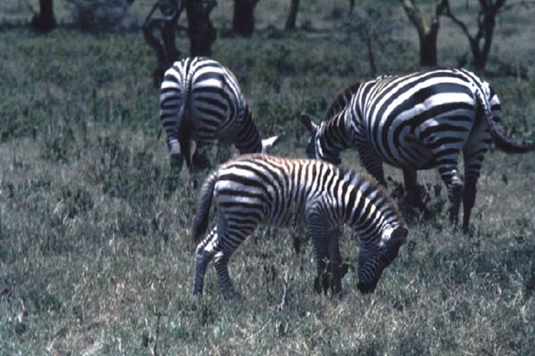 ecard 1563-grazende-zebra's-2
