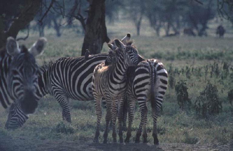ecard 1564-schurkende-zebra's