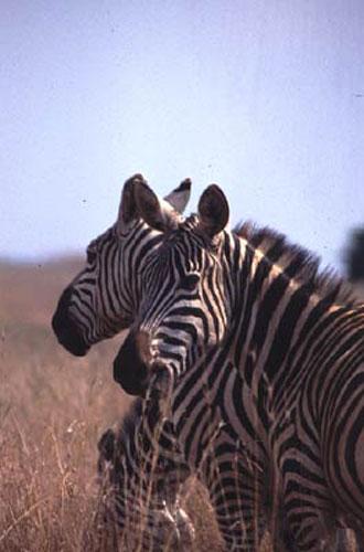 ecard 1565-zebrakoppen