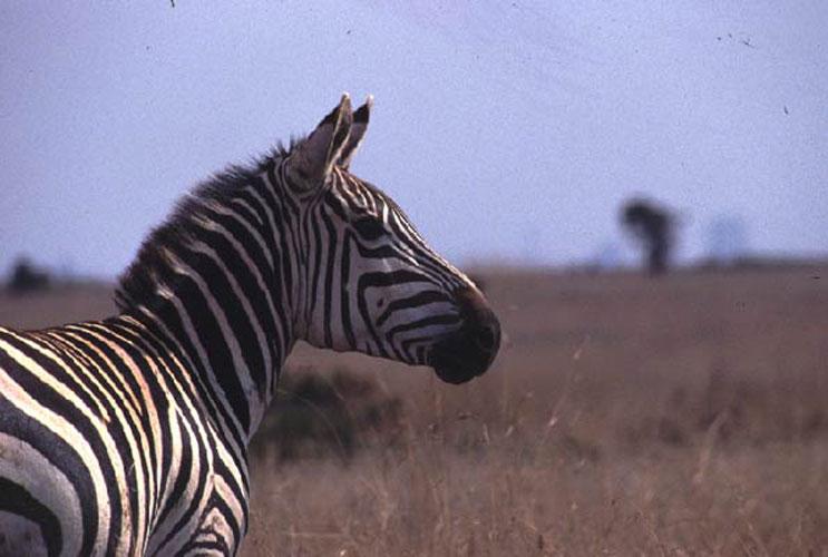ecard 1566-portret-zebra