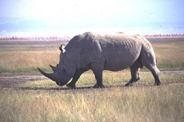 ecard 1567a-neushoorn