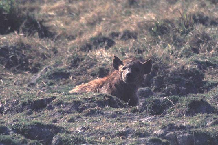 ecard 1570-hyena-1