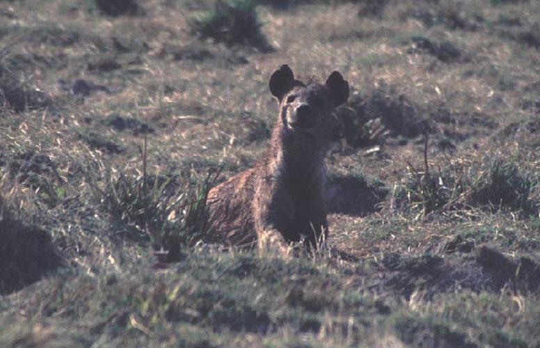 ecard 1571-hyena-2