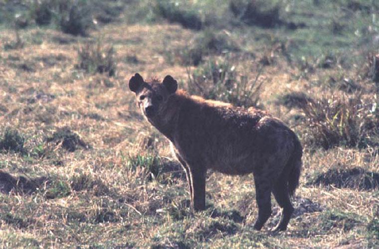ecard 1572-hyena-3