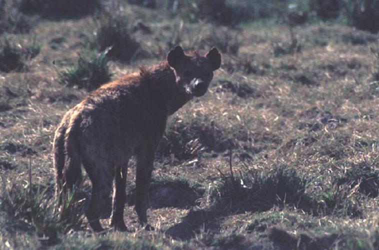 ecard 1573-hyena-4