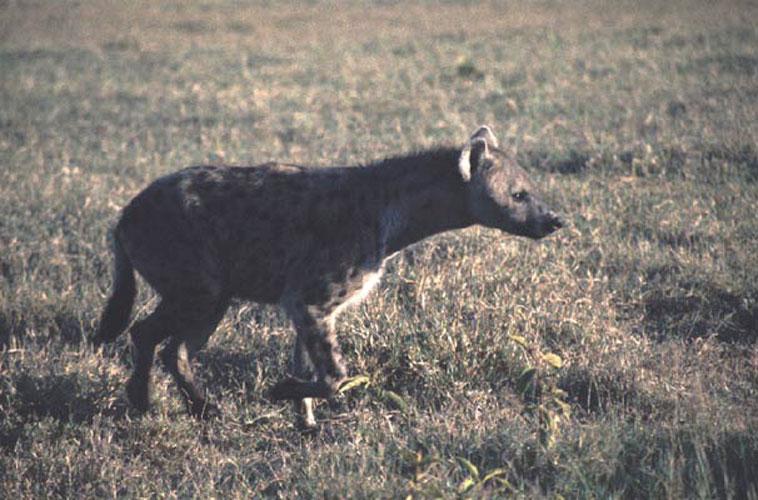 ecard 1574-hyena-5