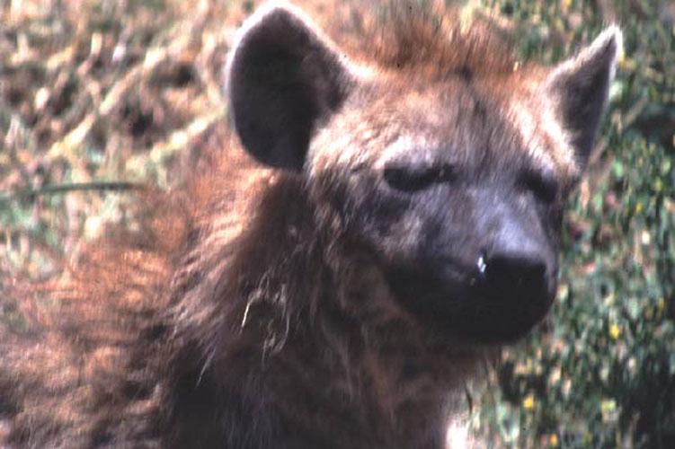 ecard 1575-portret-hyena