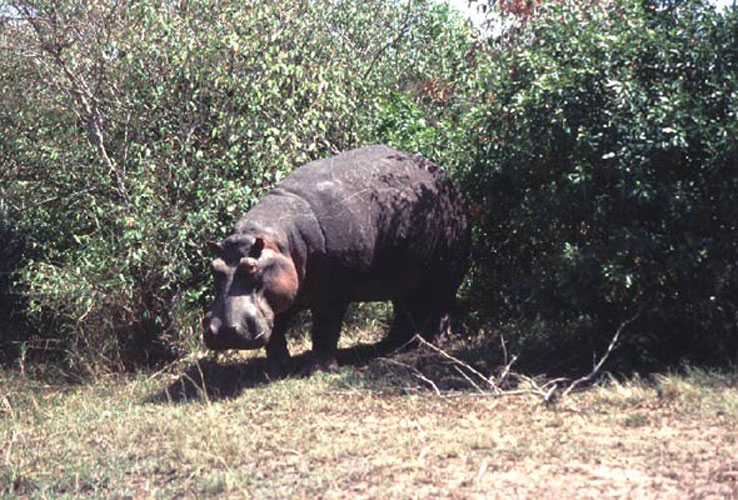 ecard 1579-nijlpaard
