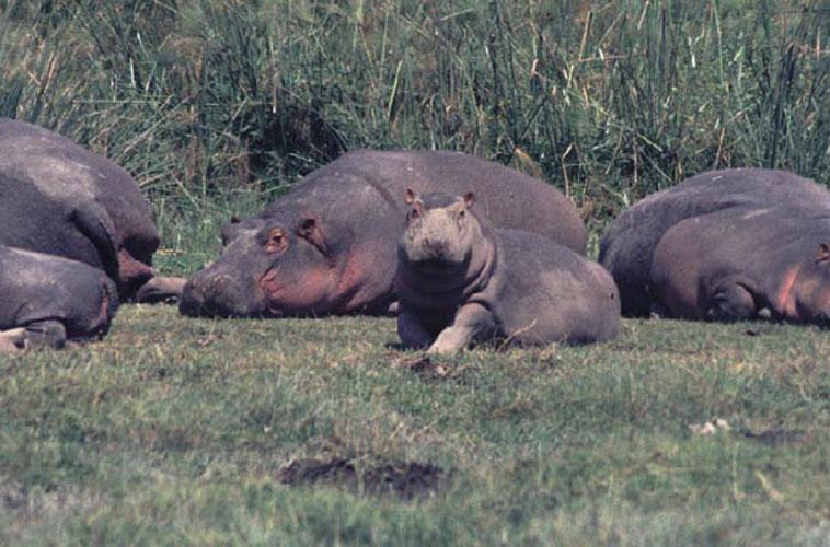 ecard 1580-nijlpaardfamilie